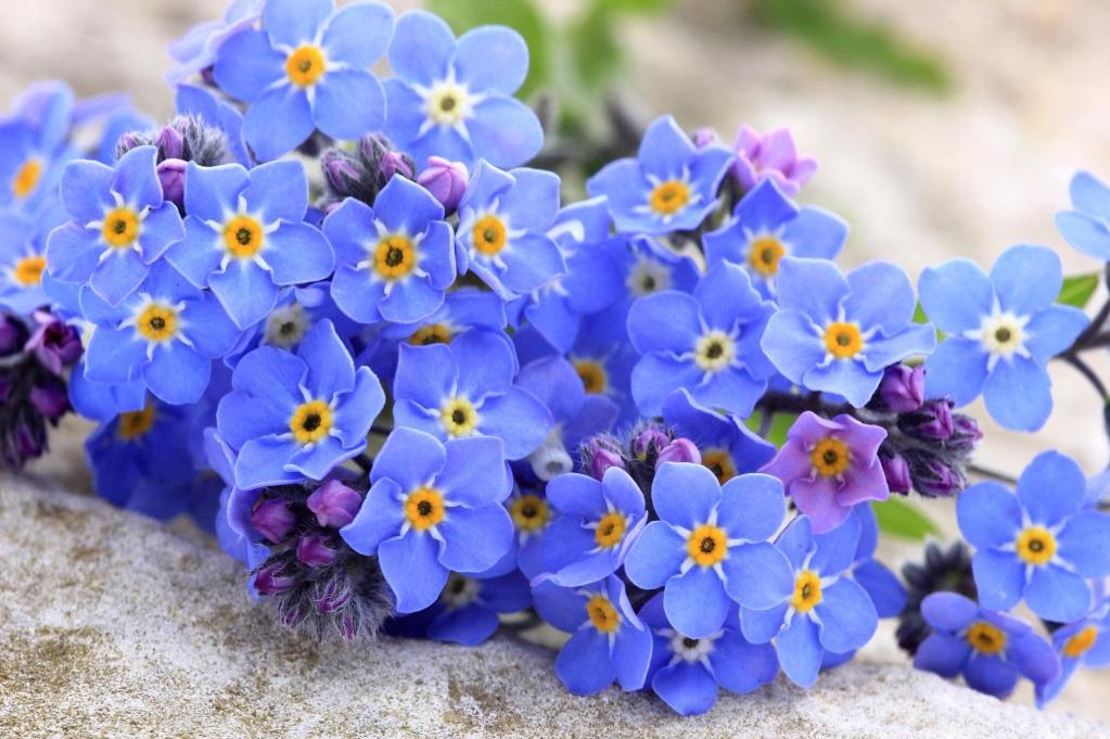 Forget-me-not-Flower-Wallpaper7
